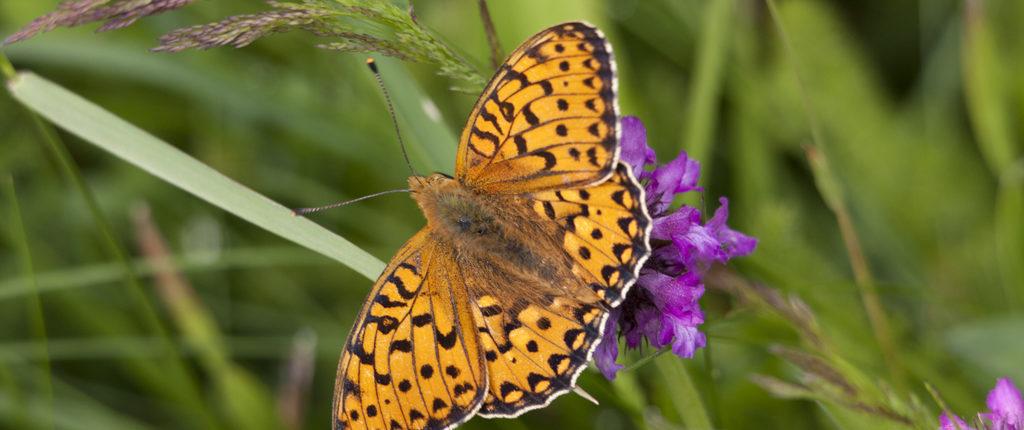 Autour des maisons Amis de la Nature, les papillons sont protégés