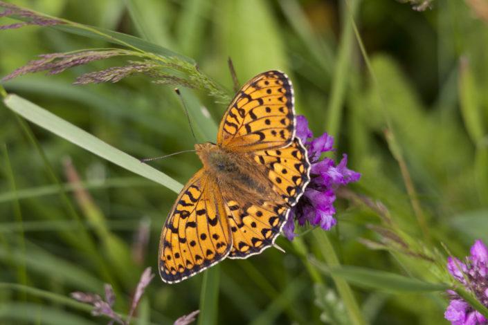 Papillon dans les champs alsacien Amis de la nature 67