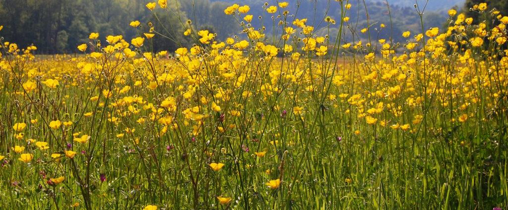 Prairie fleurie du côté de Heiligenstein en Alsace