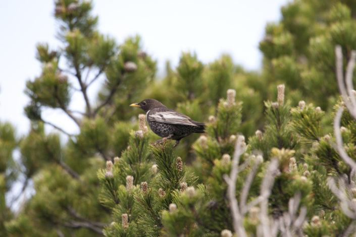oiseau sur un conifère dans les Vosges